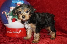 Scooby Doo Male CKC Yorkie $1750 NOW $1250 Ready 11/5 SOLD MY NEW HOME JACKSONVILLE, FL 3.4 LBS 10 WKS Old