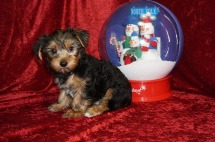 Shaggy Male CKC Yorkie $1750 JUST DISCOUNTED NOW $1000 Ready 11/5 AVAILABLE 4.8 LBS 10 Wks Old