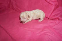 Spice Female Miniature CKC Poodle $1750 Ready 12/23 HAS DEPOSIT MY NEW HOME JACKSONVILLE , FL 4.8 oz 5 days old