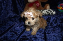 Zara Female CKC Yorkipoo $2000 Ready 1/4 SOLD! My new home is in Naples, FL! 1lb 3.8 OZ 8 Wks Old old