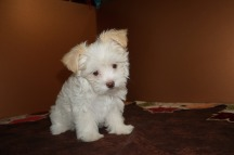 HaHa Female CKC Havanese Born 9/5 $1750 Ready 11/1 SOLD MY NEW HOME BRUNSWICK, GA 2.11 lbs 8W5D Old
