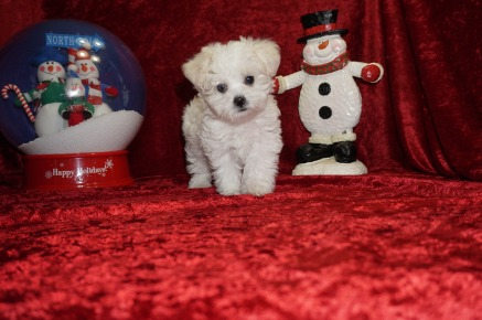 King Male CKC Shihpoo $1750 Ready 11/14 SOLD MY NEW HOME JUPITER, FL 1.6 lbs 7 wks old