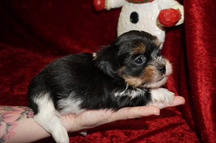 Linguine Male CKC Havashire A/K/A Yorkinese $2000 Ready 12/12 AVAILABLE 1.1 LBS 4W5D Old