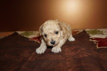 Molly Female CKC Maltipoo $2000 Ready 12/7 HAS DEPOSIT I'm going to Corral Springs, FL 1.3 lbs 3W3D Old