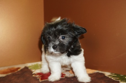 Nani Female CKC Miki Born 9/10 $2000 Ready 11/5 HAS DEPOSIT MY NEW HOME OAK HAMMOND, WA 2.7 lbs 8W1D Old