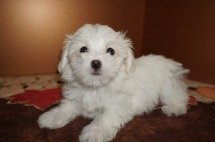 Porkchop Male CKC Havanese Born 9/6 $1750 Ready 11/2 SOLD MY NEW HOME Los Angeles CA 2.2lbs 8W4D