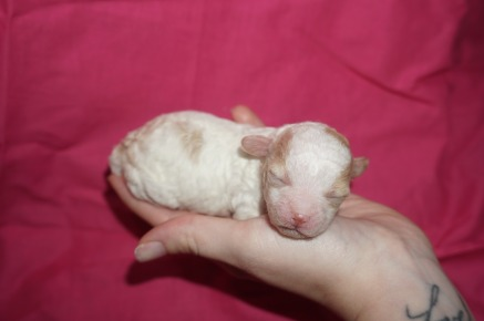 Sugar Female Miniature CKC Poodle $1750 Ready 12/23 HAS HOLD 6.1 oz 5 days old