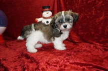 Bam Bam Male CKC Havapoo $1750 Ready 11/12 SOLD MY NEW HOME JACKSONVILLE, FL 3.6 lbs 9 wks Old