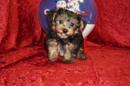 Sold Jughead Adorable Male Ckc Yorkie Gives Loves Beyond Measure