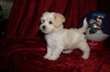 Kali Female CKC Shihpoo $1750 Ready 11/14 SOLD MY NEW HOME S DAYTONA, FL 2 lbs 7 wks old