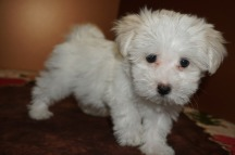 Pookie Male CKC Havanese Born 9/6 $1750 Ready 11/2 SOLD MY NEW HOME IS PALM COAST, FL 2.7 lbs 8W5D Old