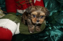 Jelly Female Shorkie $1750 Ready 1/3 SOLD MY NEW HOME FOREST HILLS, MD 1.15lbs 6wk1d old
