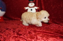 Abigail Female CKC Maltipoo $2000 Ready 11/10 SOLD MY NEW HOME ORLANDO, FL 2.8 lbs 9W2D Old