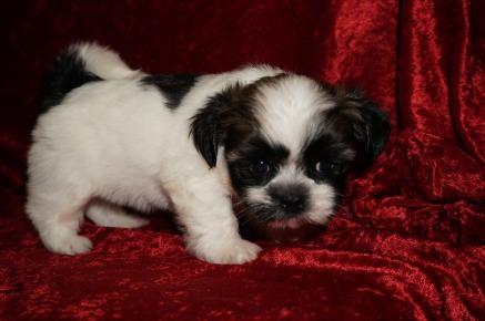 Biscuit Male CKC Havashu $1750 Ready 12/6 HAS DEPOSIT MY NEW HOME ST SIMON ISLAND, GA 1.14 lbs 5W4D Old