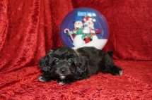 Jojo Male CKC Maltipoo $1750 BUT WAIT JUST DISCOUNTED NOW $1500 Ready 10/23 SOLD MY NEW HOME MACCLENNY, FL with all puppy vaccine and rabies completed.