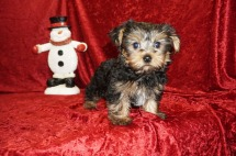 Jughead Male CKC Yorkie $1750 JUST DISCOUNTED NOW $1500 Ready 11/5 HAS HOLD 2.8 LBS 10 wks old