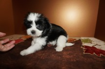 Female CKC Miki Born 9/10 $2000 Ready 11/5 HAS DEPOSIT MY NEW HOME JUPITER, FL 2.8 lbs 8W1D Old