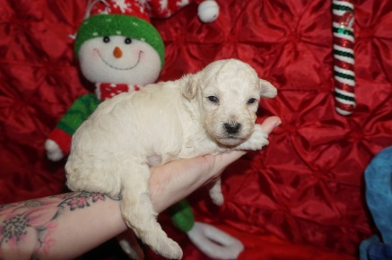 Alfie Male CKC Maltipoo $1750 Ready 1/18 AVAILABLE 1.4lbs 2wk5d old