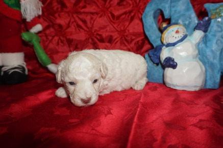 Alvin Male CKC Maltipoo $1750 Ready 1/18 AVAILABLE 1.4lbs 2wk5d old