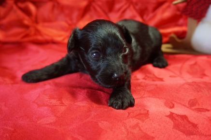 Bowzer Male CKC Morkipoo $1750 Ready 1/23 HAS DEPOSIT MY NEW HOME CALLAWAY, MD 1.2lbs 2wk5d old