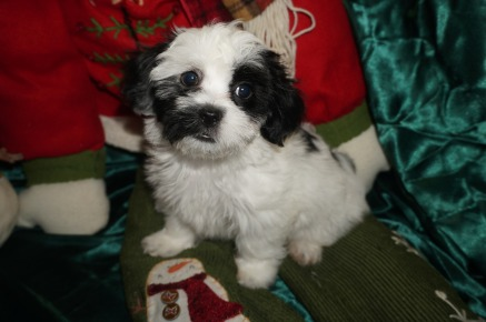 Chilly Willy Male CKC Havashu $1750 Ready 12/13 SOLD 3.12lbs 9wk3d old