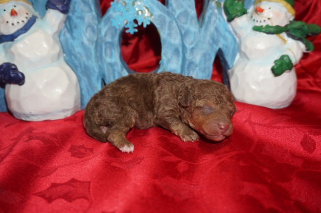 Cody Male CKC Morkipoo $2000 Ready 2/2 AVAILABLE 6.8 oz 3 Days Old