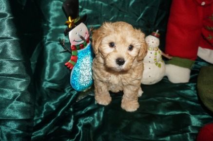 Nick Male CKC Morkipoo $2000 BUT WAIT! SPECIAL! $1750 Ready 12/24 SOLD MY NEW HOME JACKSONVILLE, FL! 7wk3d old
