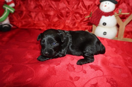 Sassy Female CKC Morkipoo $1750 Ready 1/23 AVAILABLE 1lb 2wk5d old
