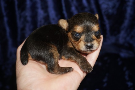 Sweet Pea Female CKC Yorkie $2000 Ready 2/6 SOLD MY NEW HOME JACKSONVILLE, FL 8.1 OZ 2wk2d old