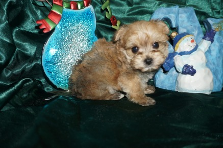 Ziggy Man Male CKC Yorkipoo $1750 Ready 1/4 SOLD 1lb 5wk6d old