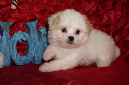 Bigsby Male CKC Malshipoo $1750 Ready 12/4 SOLD MY NEW HOME JACKSONVILLE, FL 2.10lbs 8wks old