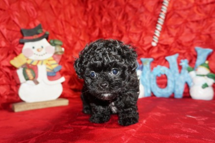 Binkie Female CKC Malshipoo $1750 Ready 12/4 SOLD MY NEW HOME DEFUNIAK, FL 1.14lbs 8wks old