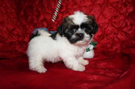 Biscuit Male CKC Havashu $1750 Ready 12/6 SOLD MY NEW HOME ST SIMON ISLAND, GA 2.9lbs 7wk5d old