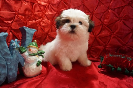 Buddy Male CKC Havashu $1750 Ready 11/27 SOLD MY NEW HOME JACKSONVILLE, FL 3.9Lbs 9 WKS OLD