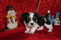 Cannoli Male CKC Havashire A/K/A Yorkinese $1750 Ready 12/12 AVAILHAS DEPOSIT MY NEW HOME MIDDLEBURG, FL 2.3lbs 7wks old