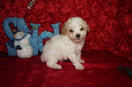 Chili Pepper Male Toy CKC Poodle $1750 Ready 12/23 HAS DEPOSIT MY NEW HOME PONTE VEDRA BCH, FL 1.10lbs 5wk2d old