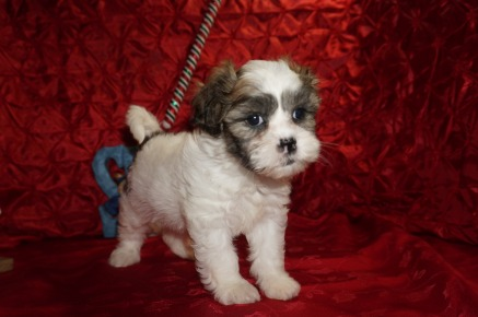 Christie Eve Female Teddy Bear a/k/a CKC Shicon $1750 Ready 12/9 HAS DEPOSIT MY NEW HOME JACKSONVILLE, FL 2.15lbs 7wk3d old