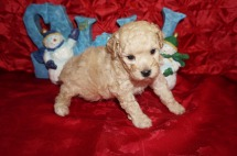 Emma Female Toy CKC Poodle $1750 Ready 12/23 HAS DEPOSIT MY NEW HOME SPARTANBURG, SC 1.15lbs 5wks old