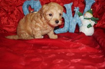 Emmanuel Male CKC Maltipoo $2000 Ready 12/7 HAS DEPOSIT! My new home is Jacksonville, FL 2lbs 5wk4d old