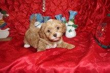 Joseph Male CKC Maltipoo $2000 Ready 12/7 SOLD! My new home is Jacksonville, FL 2.4lbs 5wk4d old