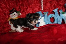 Linguine Male CKC Havashire A/K/A Yorkinese $2000 Ready 12/12 HAS DEPOSIT MY NEW HOME PALM COAST, FL 1.7lbs 7wks old