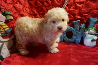 Max Male CKC Maltipoo $2000 Ready 12/7 SOLD! My new home is in Puerto Rico! 2.1 lbs 5W2D Old