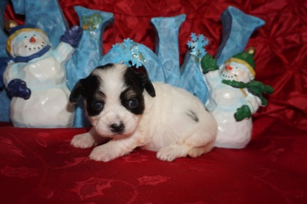 Mercedes Female CKC Havanese $1750 Ready 1/10 HAS DEPOSIT MY NEW HOME LAKE MARYS,, FL 14oz 3wks old