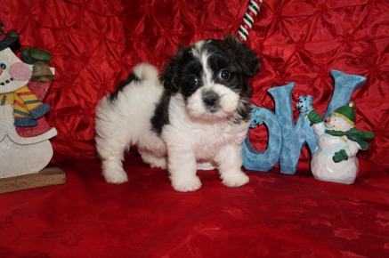 Merry Female Teddy Bear a/k/a CKC Shicon $1750 Ready 12/9 SOLD MY NEW HOME SENOIA, GA 2.10lbs 7wks3d old