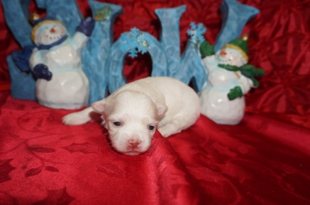Miracle Female Havanese $1750 Ready 1/22 HAS DEPOSIT MY NEW HOME JACKSONVILLE. FL 13.6oz 2wks old