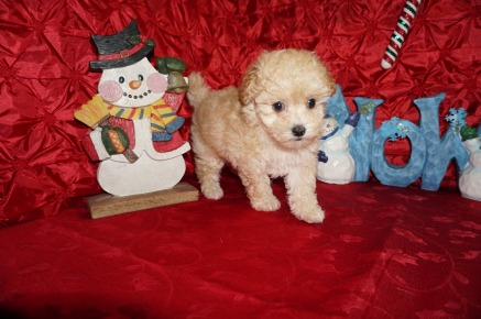 Molly Female CKC Maltipoo $1750 Ready 12/7 SOLD MY NEW HOME PONTE VEDRA BEACH, FL 1.12lbs 7wk4d old
