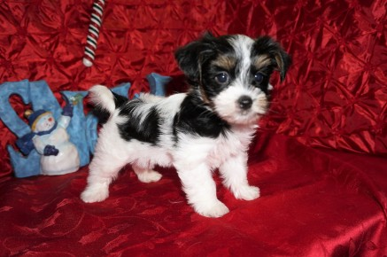Mozzarella Male CKC Havashire A/K/A Yorkinese $1750 Ready 12/12 SOLD MY NEW HOME PONTE VEDRA BEACH, FL 1.14lbs 7wks old