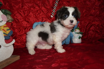 Nicholas Male Teddy Bear a/k/a CKC Shicon $1750 Ready 12/9 SOLD MY NEW HOME ORANGE PARK, FL 3.12lbs 7wk3d old