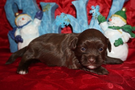 Reeses Female CKC Malshipoo $2000 Ready 1/10 HAS DEPOSIT MY NEW HOME NAPLES, FL 1.7 LBS 2W5D Old