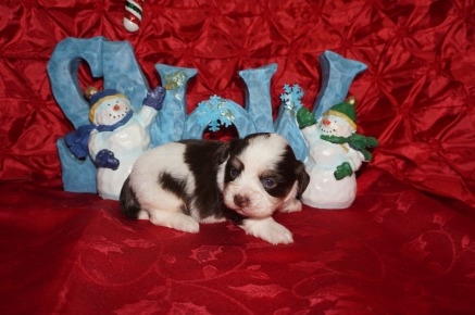 Royce Male CKC Havanese $1750 Ready 1/10 HAS DEPOSIT! My new home is in Ponte Vedra, FL. 1.6lbs 3wks old